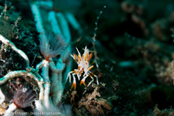 BD-130405-Tulamben-0313-Phyllognathia-ceratophthalma-(Balss.-1913)-[Spiny-tiger-shrimp].jpg